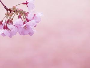 桜 ピンク背景