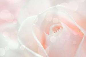 淡いピンク バラ